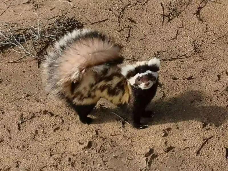 三角城保护站发现野生保护动物-虎鼬