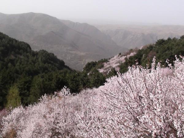 太统山桃花