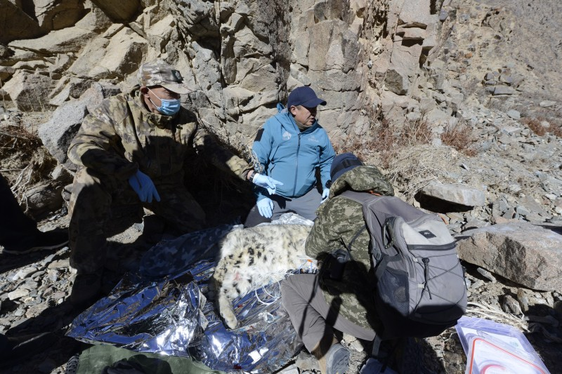 全国首例雪豹卫星追踪工作在祁连山国家公园酒泉分…